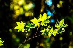 Nya gröna lönnblad i en skog i British Columbia, Kanada royaltyfri fotografi