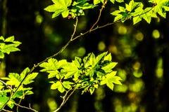 Nya gröna lönnblad i en skog i British Columbia, Kanada royaltyfria foton