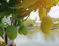 Nya gröna mango på träd I många länder är mango ätit omoget, medan färgen är fortfarande grön royaltyfri bild