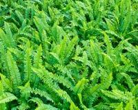 Nya gröna ormbunkar Arkivbilder