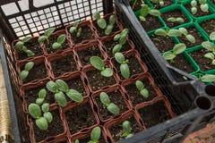 Nya gröna plantor Fotografering för Bildbyråer