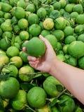 Nya gröna söta apelsiner från organisk lantgård Arkivfoton