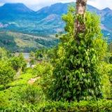 Nya gröna sidor pepprar (Piper Nigrum) att växa på trädteet Royaltyfri Fotografi