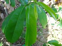 Nya gröna soursopsidor på ett soursopträd Arkivbilder