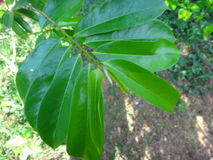 Nya gröna soursopsidor på ett soursopträd Arkivfoto