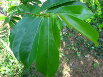 Nya gröna soursopsidor på ett soursopträd Royaltyfri Fotografi