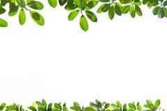 Nya gröna trädsidor, ram på vit bakgrund Arkivfoton