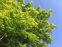 Nya gröna vårträdsidor mot blå himmel Royaltyfria Foton