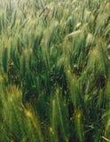 Nya gröna veteöron i soligt ljus Havre råg, kornfält med nya organiska kulturer Hälsningar fjädrar Eco mat arkivbilder