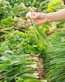 Nya grönsaker för blandning Royaltyfria Foton