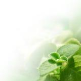 nya greenleaves Royaltyfria Bilder