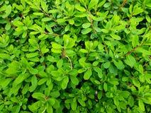nya greenleaves f?r bakgrund Buske som bakgrunden fotografering för bildbyråer