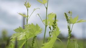 Nya groddar av druvan sträcker upp till solsken på fältet av kolonin, närbild av den gröna växten lager videofilmer
