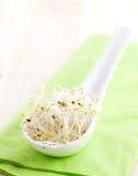 nya groddar för alfalfa Royaltyfri Bild