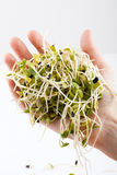 nya groddar för alfalfa Arkivfoto