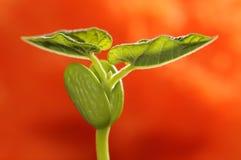 nya groddar för böna Arkivfoton