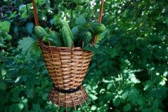 Nya gurkor i en brun vide- korg mot bakgrunden av grön vegetation Arkivfoto
