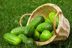 Nya gurkor i grönsakkorgen. Arkivfoto