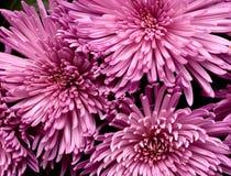 nya härliga blommor för bakgrund Royaltyfri Fotografi