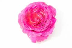 nya härliga blommor Mjukhet och angenäm lukt ro för foto för härlig bokehträdgårdlampa naturliga arkivfoton