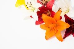 nya härliga blommor Mjukhet och angenäm lukt Trädgårds- liljor arkivfoton