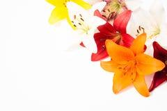 nya härliga blommor Mjukhet och angenäm lukt Trädgårds- liljor royaltyfri bild
