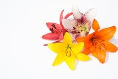 nya härliga blommor Mjukhet och angenäm lukt Trädgårds- liljor royaltyfri fotografi