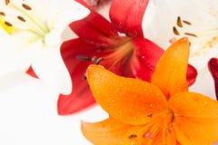 nya härliga blommor Mjukhet och angenäm lukt Trädgårds- liljor royaltyfria foton