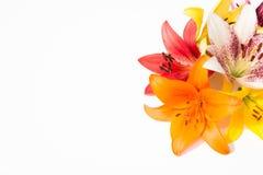 nya härliga blommor Mjukhet och angenäm lukt Trädgårds- liljor arkivbild