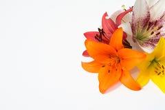 nya härliga blommor Mjukhet och angenäm lukt Trädgårds- liljor arkivfoto