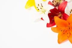 nya härliga blommor Mjukhet och angenäm lukt Trädgårds- liljor royaltyfria bilder