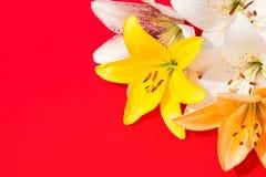 nya härliga blommor Mjukhet och angenäm lukt Trädgårds- liljor Röd bakgrund arkivfoto