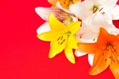 nya härliga blommor Mjukhet och angenäm lukt Trädgårds- liljor Röd bakgrund arkivbilder