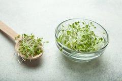 Nya hemlagade mikro-gräsplaner på en vit bakgrund En användbar frukost som är rik i vitaminer, spårämnar och antioxidants royaltyfria bilder