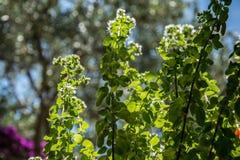 Nya herbals som växer i solljuset i trädgård arkivbild