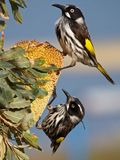 Nya Holland Honeyeaters Royaltyfri Bild