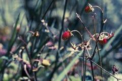 Nya jordgubbar i ljus för tappningfilterblått Arkivfoto