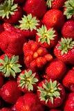 Nya jordgubbar major royaltyfri fotografi