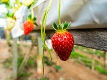 Nya jordgubbar riktar från trädet Royaltyfri Foto