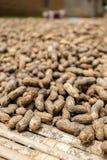 Nya jordnötter som torkar i sol arkivbilder