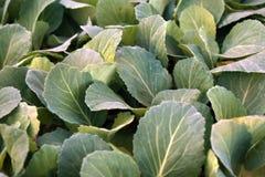 Nya kålunga träd Grönsaker dietary mat Grönsaker för matlagning Arkivbild