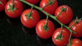 Nya körsbärsröda tomater på en svart bakgrund Gruppen av den nya körsbärsröda tomaten med vatten tappar stock video