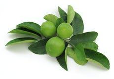 nya key limefrukter Arkivfoto