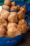 Nya kokosnötter. Royaltyfri Bild