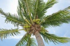 Nya kokosnötter Arkivfoto