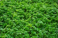 nya kryddor organisk parsley Top beskådar Persilja i hemträdgården Arkivbilder