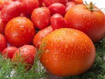 Nya, läckra och smakliga tomater och fänkål Fotografering för Bildbyråer