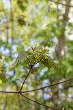 Nya lönnlöv och blommor Royaltyfria Bilder