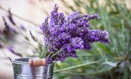 Nya lavendelblommor Arkivfoton
