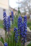 Nya lavendelblommor i trädgården royaltyfria foton